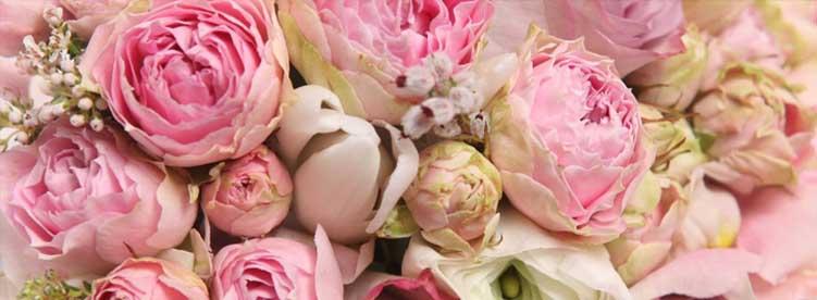 beautiful pink roses royal albatross